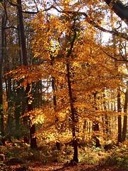 Tree Of LIght (elhawk) Tags: england autumn beechtree light