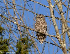 Barred Owl (David Clippinger) Tags: birds ohio ohiowildlife ohiobirds preblecountyohio barredowl owl nikon d500