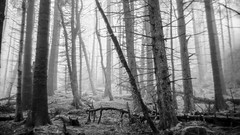 Dead Standing. (FadeToBlackLP) Tags: landscape blackandwhite woodland foggy fog mist mistywoods beautiful nature dark forest eerie dramatic meyeroptik oreston gorlitz 50mm peak district peakdistrict