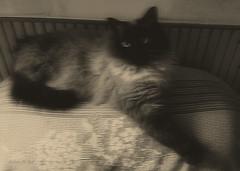 La Gatta (Stefano M. Naïf) Tags: gatto cat postprocessing editing manipulation kitty kitten micio
