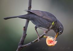 Desayuno.. (joseramongonzalez544(Checha)) Tags: bird 500mm tc14iii d810 pajaro mirlo animal ave higo