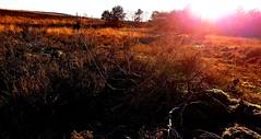 180107-15 (Leo Visser) Tags: dutch mauntains veluwe holland sunlight sun heide field zwolle winter fall nature toendra light forest steppe savanne savane europe nederland zen