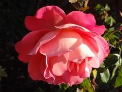 Happy Sunday ;-) (Gartenzauber) Tags: rose natur sony