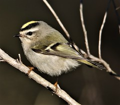 Golden-crowned Kinglet (Regulus satrapa) 11-21-2018 Pt. Lookout SP, St.Mary's CO. MD (Birder20714) Tags: birds maryland kinglets regulidae regulus satrapa