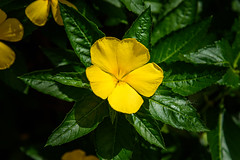 A yellow Beauty (NguyenMarcus) Tags: aasia worldtracker vietnam flowers nature phúquốc kiêngiang vn