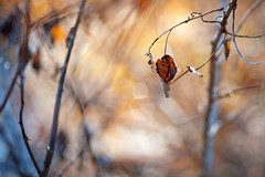 Little red (Pásztor András) Tags: nature winter forest leaf red blue yellow dof sun light outdoor dslr full frame nikon d700 hungary andras pasztor photography sigma 105mm f28