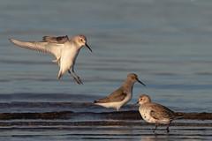 Bécasseaux variables (kookaburra 81) Tags: espagne bécasseauvariable oiseau calidrisalpina charadriiformes dunlin scolopacidés bird 3