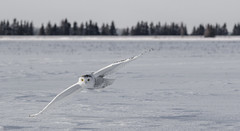 Snowy Owl inflight.... (Kevin Povenz Thanks for all the views and comments) Tags: 2016 january kevinpovenz saultstemarie upperpeninsula up upnorth owl snowyowl bird birdsofprey fly flight winter cold nature wildlife outdoors outside canon7dmarkii sigma150500 field white snow