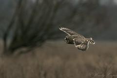 Short Eared Owl-1248 (WendyCoops224) Tags: 100400mml 80d fens canon eos ©wendycooper short eared owls asio flammeus