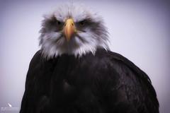 Bald Eagle Portrait (pbmultimedia5) Tags: bald eagle bird prey portrait animal wildlife england united kingdom pbmultimedia haliaeetus leucocephalus