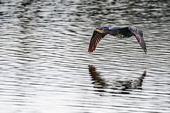 Cormorant (mikedoylepics) Tags: cormorant rspb rspbpulboroughbrooks pulboroughbrooks birds bird nikond500 nikon200500mm westsussex