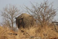 Rhino up Ahead (Rckr88) Tags: krugernationalpark southafrica kruger national park south africa rhino up ahead rhinoupahead rhinoceros animal animals naturalworld nature outdoors wildlife
