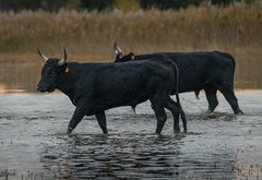 Duo (MrBlackSun) Tags: blackbull camargue southfrance france nikon d850 black bull