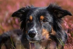 Portrait (Flemming Andersen) Tags: portrait pet nature dog bordercollie outdoor yatzy hund animal