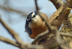 Nuthatch in my backyard - a story, the end (ctberney) Tags: redbreastednuthatch bird small backyard tree story nature