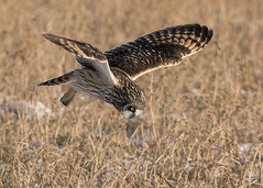 Short-eared Owl Diving on a vole (Thomas Muir) Tags: asioflammeus raptor hunting flying woodcounty ohio midwest nikon 600mm animal outdoor bird birdwatching bowlinggreen