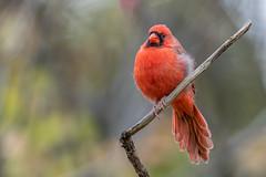 Northern Cardinal (Joe Branco) Tags: photoshop lightroom ontario canada grass nikond850 nikon branco joe joebrancophotography northerncardinal green