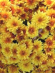 Wheaton, IL, Cantigny Park, Yellow Crysanthemum Flowers (Mary Warren 12.4+ Million Views) Tags: wheatonil cantignypark nature flora plants park garden yellow blooms blossoms flowers chrysanthemum
