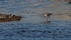 Toe Dipping (Phal44) Tags: canon 7d2 7d mk2 200400 200400mm rye bird wildlife marsh water sea sussex eastsussex sussexwildlifetrust