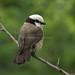 Northern White-crowned Shrike - Rift Valley - Kenya CD5A7254
