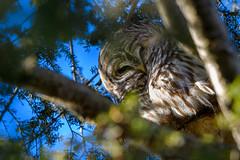 Peekaboo (Eric Tischler) Tags: barred owl ohio bird tree wildlife