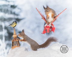 red squirrel  sitting on a dragon with titmouse on tower (Geert Weggen) Tags: dragon red squirrel air animal animals attacking back bird bright built castle closeup cute fly game high humor journey leaving shout openmouth sing gameofthrones fire scary fear tower tit greattit titmouse winter snow cold watch sit bispgården jämtland sweden geert weggen hardeko ragunda