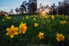 Spring Garden (Jaykhuang) Tags: livermore wildflowers daffodils springtime springgreen backlighted sunrise sunstar eastbay bayarea jayhuangphotography trivalley 野生水仙花