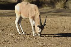 Antilope (grasso.gino) Tags: tiere animals natur nature zoo hannover nikon d7200 antilope antelope