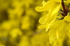 Aranyeső (vegeta25) Tags: yellow mothernatureatherbest mothernature sárga virág virágzik virágzás virágok flower flowers macro makró nature természet laburnum lanagyroides