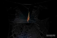 Pseudo orb weaver (Fecenia sp.) - DSC_0592 (nickybay) Tags: singapore mandaitrack7 mandai macro fecenia pseudo orb weaver spider psechridae backlighting