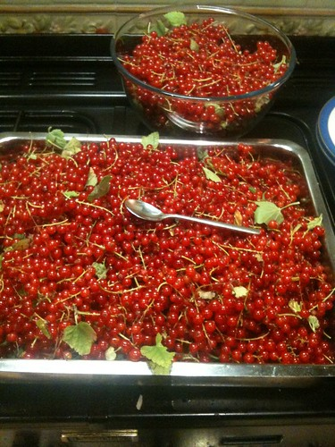 jane jones has turned this bumper crop of redcurrants into two delicious